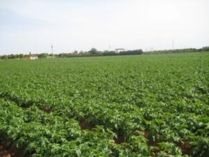 Aardappelveld Molenaar