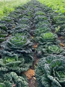 Westlandse putjes groenekool